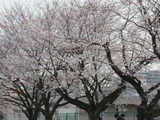 Sakura20163
