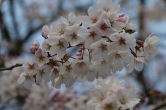 Sakura20164
